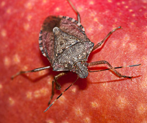 Brown marmorated stink bug adult on apple.