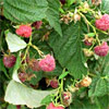 BMSB feeds on raspberry, damaging the fruit.