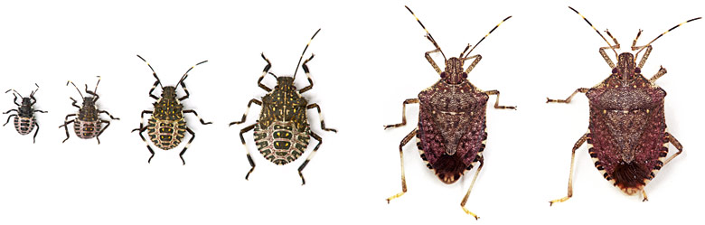 A composite photograph shows BMSB in six stages from nymph to adult.