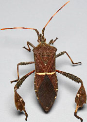 Leaffooted Bug, Leptoglossus phyllopus