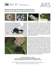 Samurai Wasp Factsheet