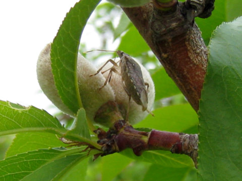 Brown marmorated stink bug adult on peach in May, Kearneysville, West Virginia