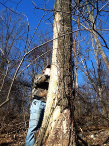 In the woods, a researcher inspects a dead, standing tree for BMSB.