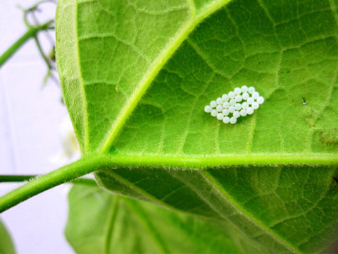 Brown marmorated stink bug eggs on catalpa