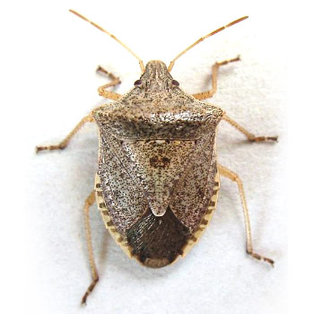 Look alike insects stopbmsb consperse stink bug euschistus conspersus is common in the western united states and british columbia canada a gray brown to green body with yellow to sciox Images