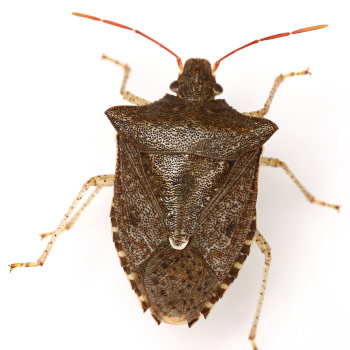 Dusky stink bug  Euschistus tristigmus  also occurs throughout much of  eastern North America  but is generally less abundant than either E  servus  or E. Look Alike Insects   StopBMSB org