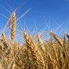 Field crops may be at risk to BMSB damage.