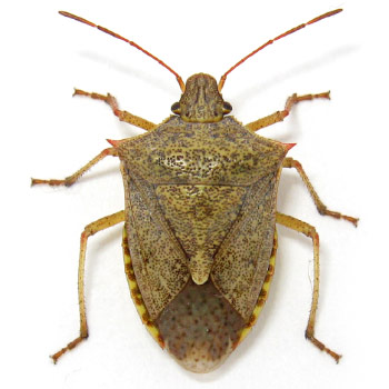 Onespotted stink bug  Euschistus variolarius. Look Alike Insects   StopBMSB org