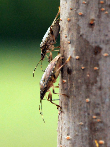 Brown marmorated stink bug adults feeding through the bark of an elm tree