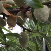Gumming of almonds due to BMSB damage.