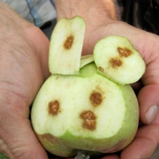 Apple with internal necrosis.