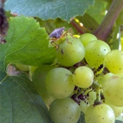 BMSB on grapes.