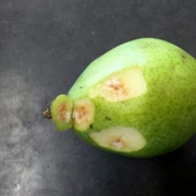 BMSB damage in pears.