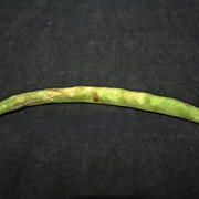 BMSB-injured snap bean.