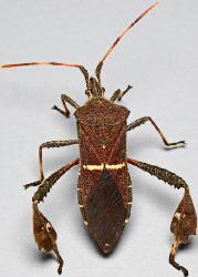Leaffooted Bug Leptoglossus Phyllopus