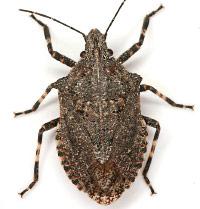Rough Stink Bug Brochymena Quadripustulata Photo By Mike Quinn Texasento