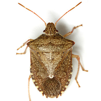 Brown Stink Bug Euschistus Servus Occurs Throughout Much Of North America But Is Most Abundant In Southeastern United States