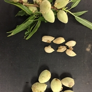 Gumming and shriveling of almonds due to BMSB damage.