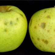 Apple with BMSB injury (left) versus bitter pit (right).