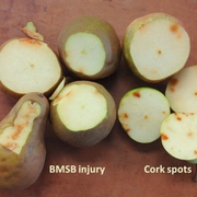 Bosc pear with BMSB injury (left) versus cork spots (right).