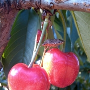 Cherry with adult BMSB.