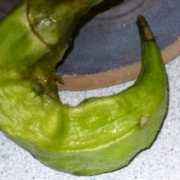 Deformed okra pod due to BMSB feeding.